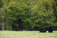 Семья бурого медведя Стоковые Изображения