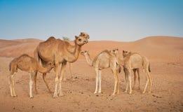 Семья верблюда стоковые фотографии rf