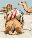 Семья верблюда Стоковое Изображение RF