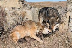Семья волков вертепом с щенятами Стоковая Фотография RF
