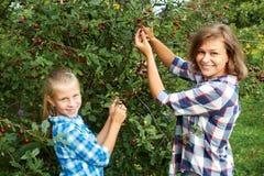 Семья выбирая красную вишню от дерева в саде лета Стоковые Изображения RF