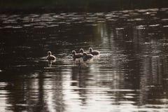 Семья в заходе солнца, cygnus лебедя Cygnus Стоковое фото RF