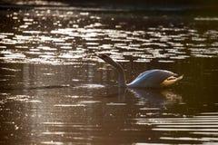 Семья в заходе солнца, cygnus лебедя Cygnus Стоковое Изображение