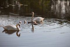 Семья в заходе солнца, cygnus лебедя Cygnus Стоковое Изображение RF
