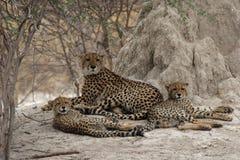 семья гепарда Стоковое фото RF