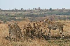 семья гепарда Стоковая Фотография