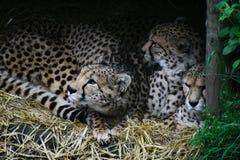 Семья гепарда стоковое изображение