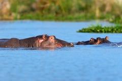 Семья гиппопотама Кения, Африка Стоковое Фото