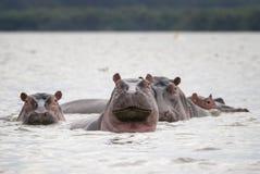 Семья гиппопотамов в воде озера Стоковые Изображения