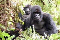 Семья гориллы Стоковые Изображения RF