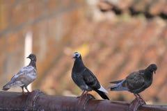 Семья голубя Стоковые Изображения