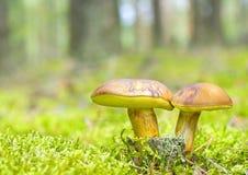 Семья гриба в мхе Стоковые Фото