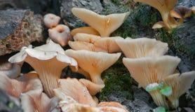 Семья гриба растя на конце пня вверх Стоковое Изображение RF