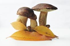 Семья 2 гриба Стоковое Изображение