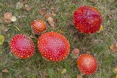 Семья гриба - toadstools в траве Стоковые Изображения RF