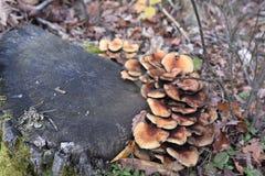 Семья грибов близкая вверх на осени leavesWhiteAgaric стоковое фото rf
