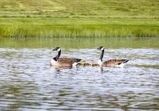 Семья гусыни Канады в пруде Стоковая Фотография