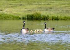 Семья гусыни Канады в пруде Стоковые Изображения RF