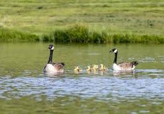 Семья гусыни Канады в пруде Стоковая Фотография RF