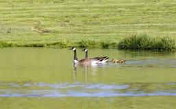 Семья гусыни Канады в пруде Стоковые Фотографии RF