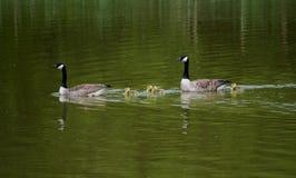 Семья гусыни на воде Стоковая Фотография RF