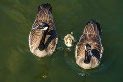Семья гусыни с немногим одно на воде Стоковое Изображение RF