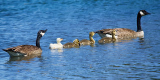 Семья гусыни Стоковая Фотография RF
