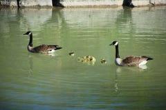 Семья гусыни стоковое фото