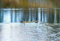 Семья гусынь в Манитобе, Канаде Стоковое Изображение RF
