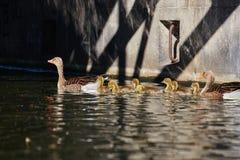 Семья гусынь делает отключение на ` Eilbekcanal ` в Гамбурге стоковые фото
