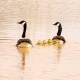 Семья гусынь Канады Стоковые Изображения RF