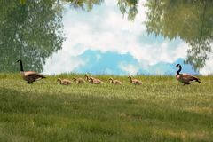 Семья гусынь Канады Стоковое Изображение RF