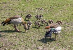 Семья гусынь пася на траве Стоковое Изображение RF