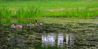 Семья гусынь пересекая пруд Стоковые Изображения RF