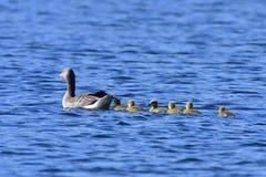 Семья гусынь Greylag Стоковые Фотографии RF