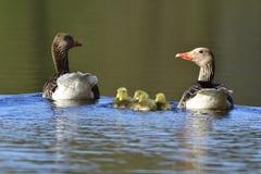 Семья гусынь Greylag Стоковое Изображение RF