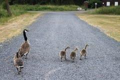 Семья диких уток идя на дорогу утесов Стоковое фото RF