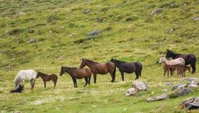 Семья дикой лошади на траве Стоковая Фотография RF