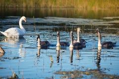 Семья лебедей Стоковые Изображения RF