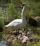 Семья лебедей стоковое фото