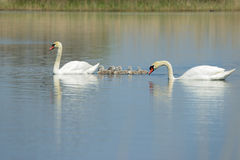 Семья лебедя на озере Стоковые Фото