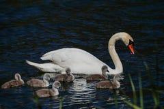 Семья лебедя с утятами младенца Стоковое Фото