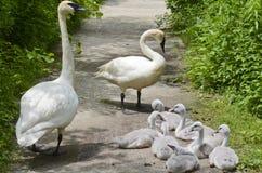 Семья лебедя трубача Стоковые Изображения