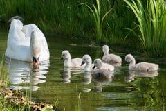 Семья лебедя стоковые фото