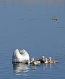 Семья лебедя Стоковая Фотография
