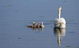 Семья лебедя Стоковое Фото