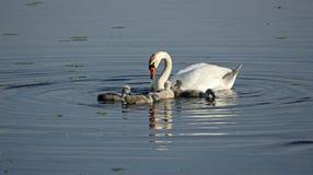 Семья лебедя Стоковые Изображения