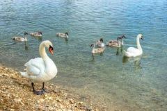 Семья лебедя Стоковые Фотографии RF