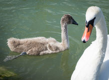 Семья лебедя стоковые изображения rf