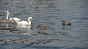 Семья лебедя сток-видео